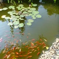 Goldfische im Gartenteich warten auf ihr Futter