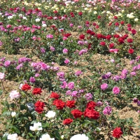 Weinsberger rosen 015