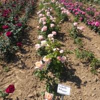 Weinsberger Rosenkulturen 2015