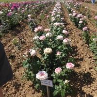 Weinsberger rosen 018