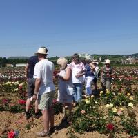 Weinsberger rosen 020